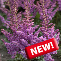 Astilbe little vision in purple