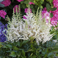 astilbe vision in white