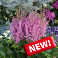 Astilbe little vision in pink